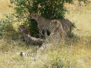 """""""Cheetah Brothers 1"""""""