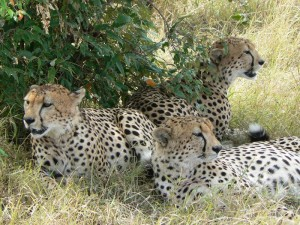 """Cheetah Brothers 3"""