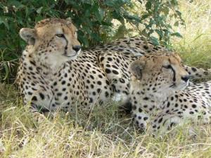"""""""Cheetah Brothers 2"""""""