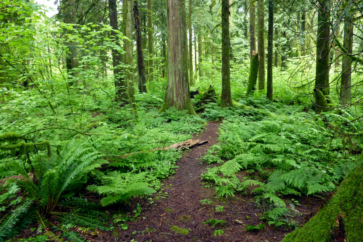 trail meanders into the temperate rainforest of British Columbia.: leebeavington.com/photography/forest-2