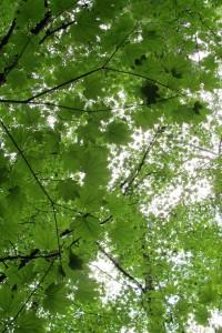 Maples Canopies